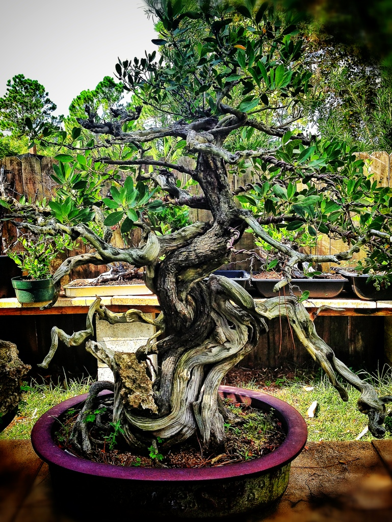 Her Royal Majesty Mary Madison The Buttonwood Queen Adam S Art And Bonsai Blog