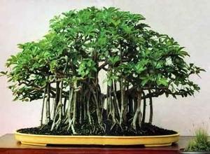 beginner bonsai tree selection adam 39 s art and bonsai blog. Black Bedroom Furniture Sets. Home Design Ideas