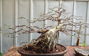 ficus retusa specimen bonsai tree adam s art and bonsai blog rh adamaskwhy com