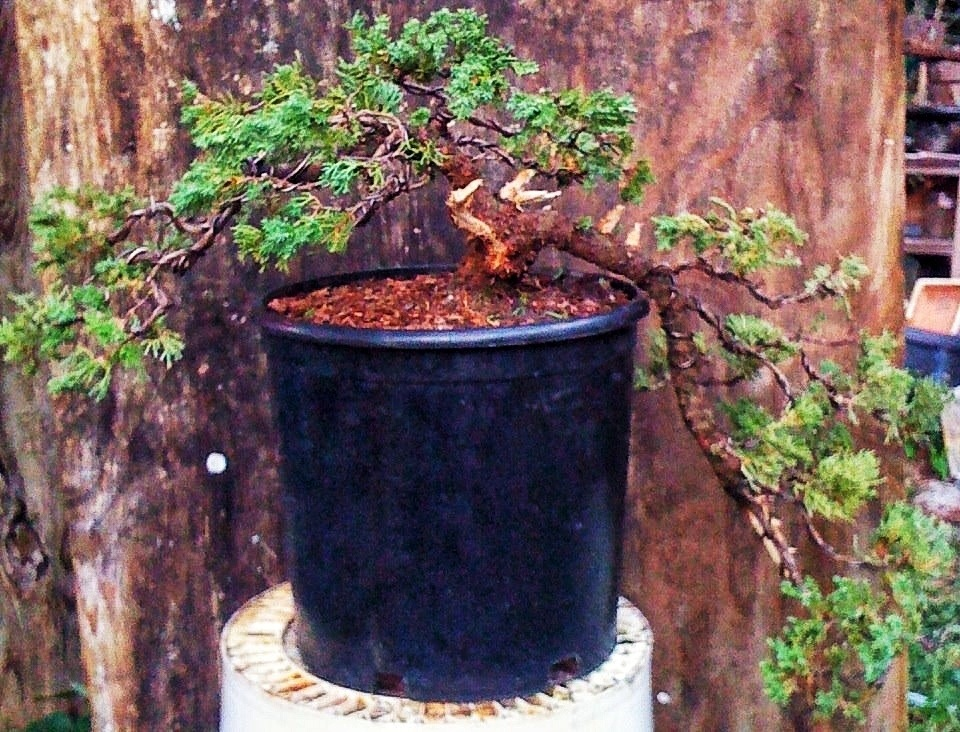 Cascade Juniper Or Is It Pretty To Fall Off A Cliff Adam S Art And Bonsai Blog