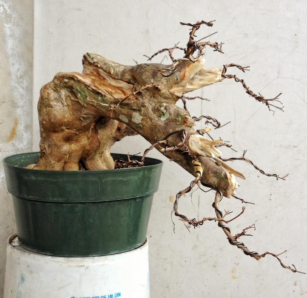 Specimen Crepe Myrtle Progression Adam S Art And Bonsai Blog