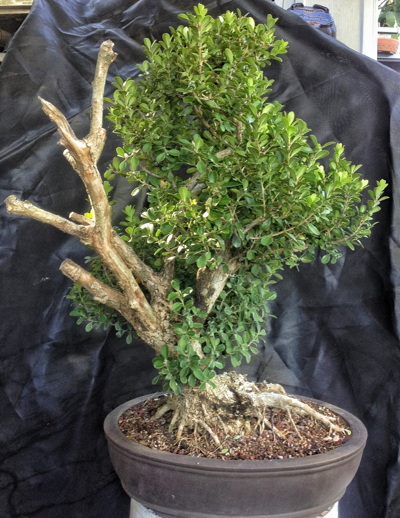 It s about time you styled that boxwood into a bonsai for How to make an olive tree into a bonsai