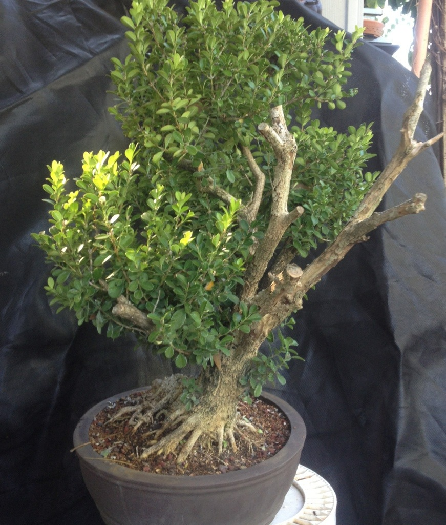 It S About Time You Styled That Boxwood Into A Bonsai Adam S Art And Bonsai Blog