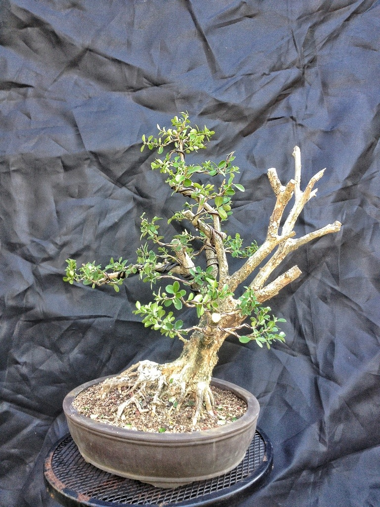 It s about time you styled that boxwood into a bonsai