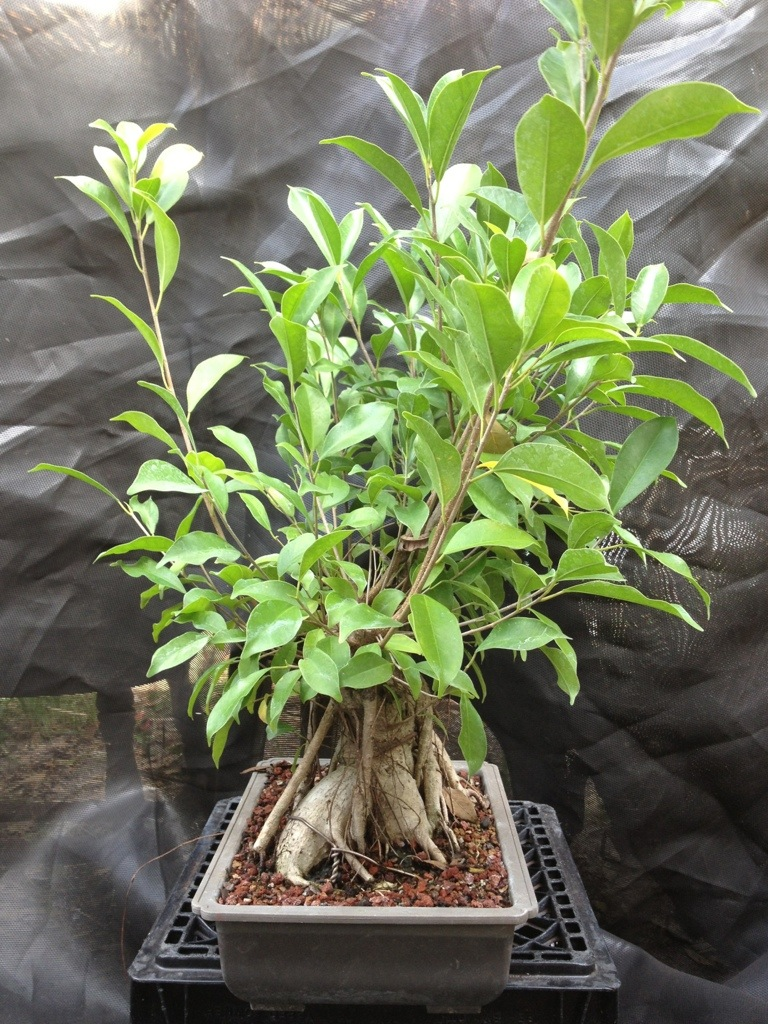 ginseng and s curve ficus rogues gallery adam 39 s art and bonsai blog. Black Bedroom Furniture Sets. Home Design Ideas
