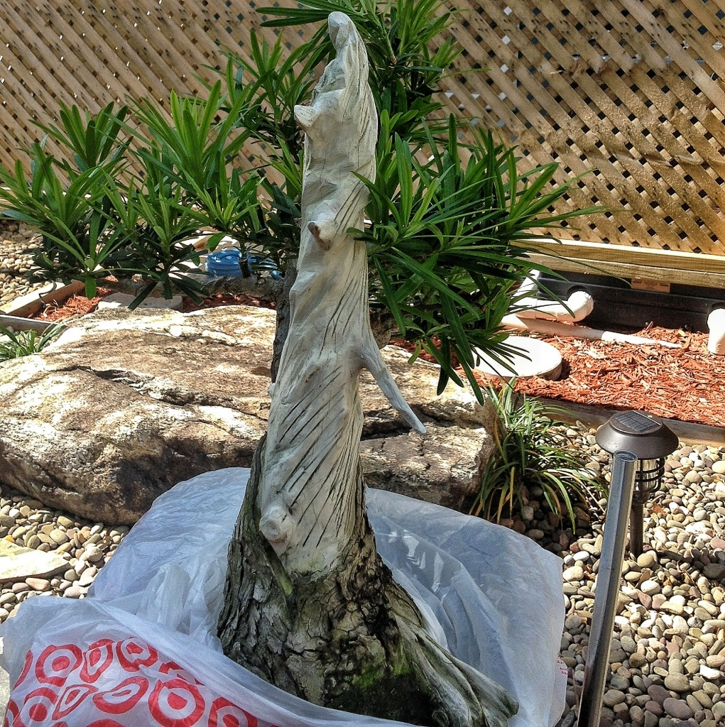 Refining A Deadwood Feature On A Podocarpus The Ancient Art Of