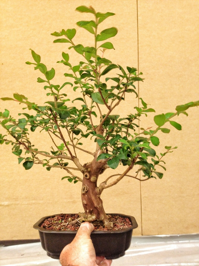 Crepe Myrtle Bonsai Can You Grow One Adam S Art And