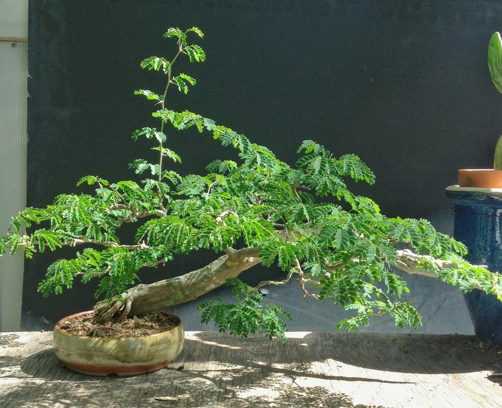 Brazilian Rain Tree Bonsai Soil Bonsai Tree