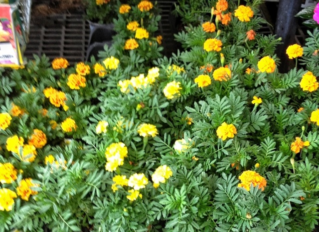 compare and contrast marigolds and thank Free author's purpose lessons, activities,  compare and contrast  author's purpose worksheets.