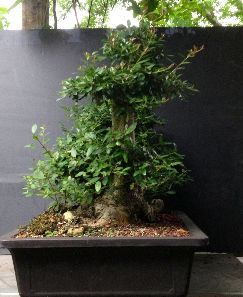 Some refinement tips on a yaupon holly yamadori adam 39 s for Holly tree bonsai