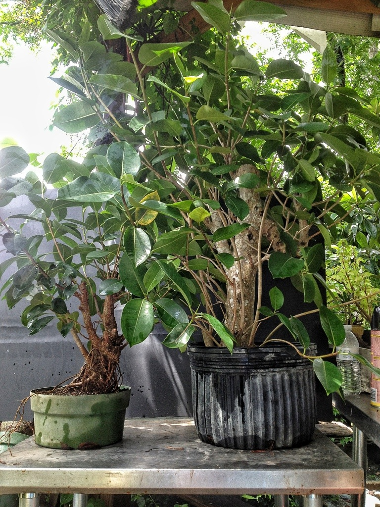 Strangler Fig Bonsai Say What Adam S Art And Bonsai Blog