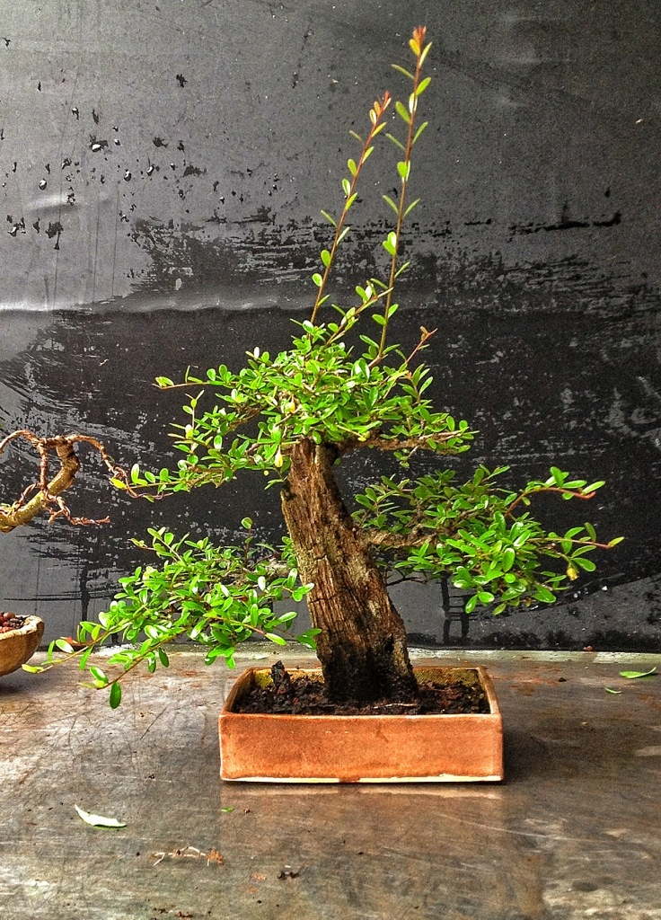 My Little Neea Buxifolia Bonsai Adam S Art And Bonsai Blog