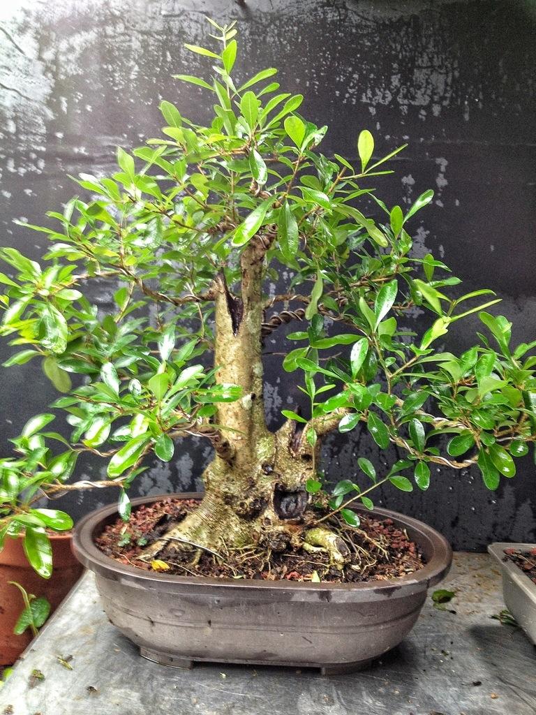Florida Swamp Privet Bonsai Adam S Art And Bonsai Blog