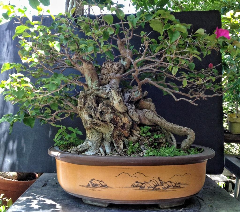 Repotting My Bougainvillea Beastie Adam S Art And Bonsai Blog