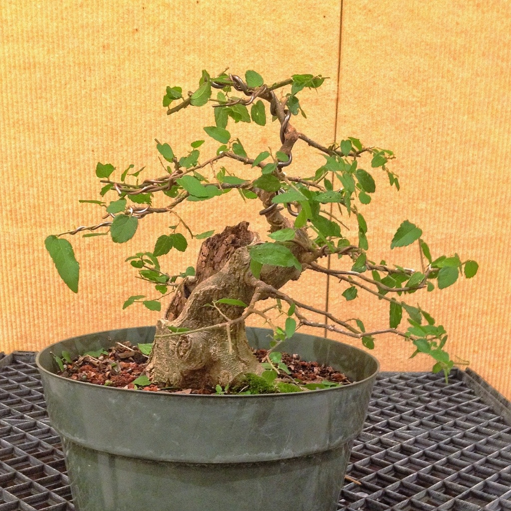 Yet another pictures album 5 adam 39 s art and bonsai blog - Arce rubrum bonsai ...