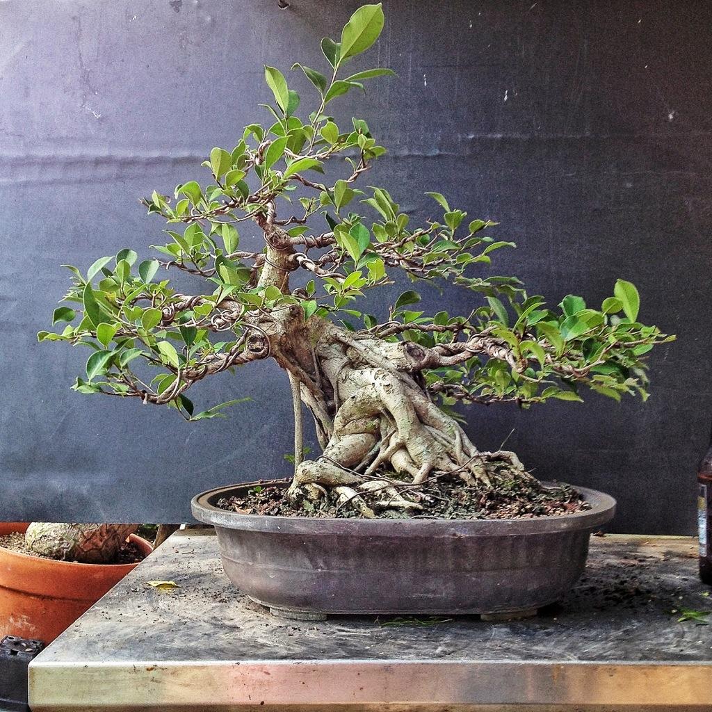 Repot Rewire Revisit Ficus Microcarpa Specimen Adam S Art And Bonsai Blog