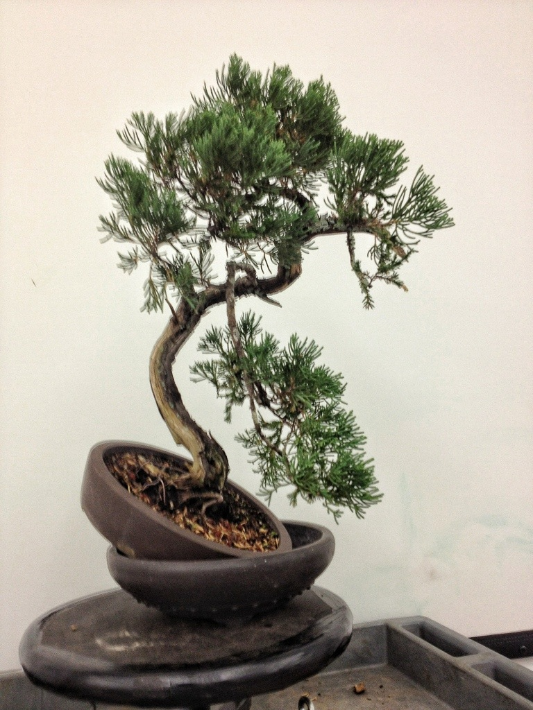A juniper bonsai wait adam s doing a juniper adam 39 s for The juniper