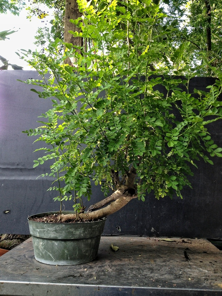 Lime Prickly Ash You Say Does Medicated Powder Work For That Adam S Art And Bonsai Blog