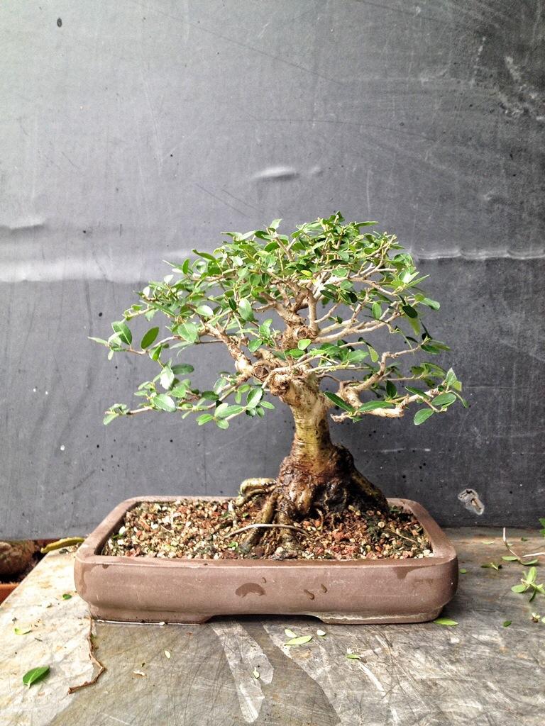 Hackberry Ilex Brazilian Raintree And Potato Adam S Art And Bonsai Blog