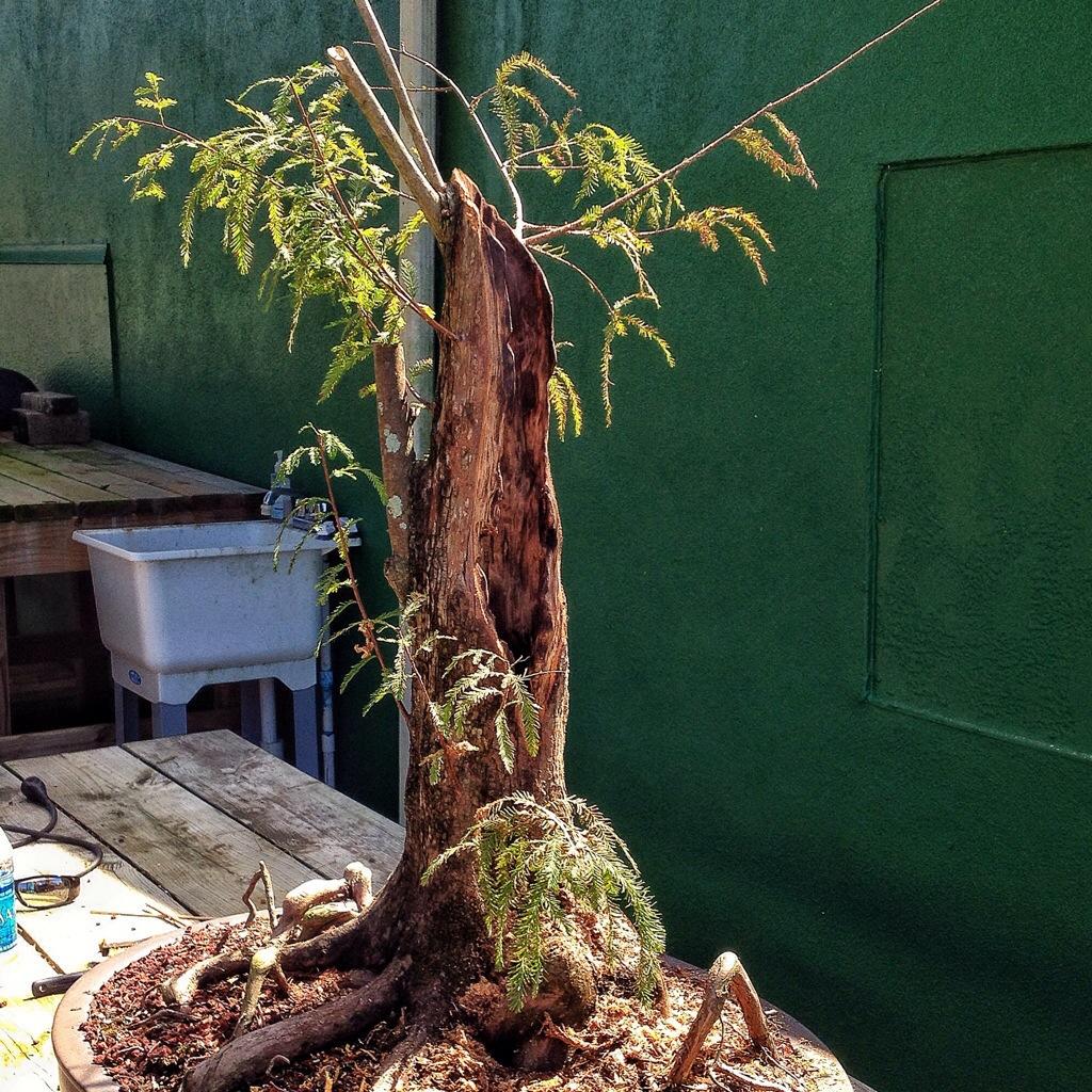Bald Cypress Carving Adam S Art And Bonsai Blog
