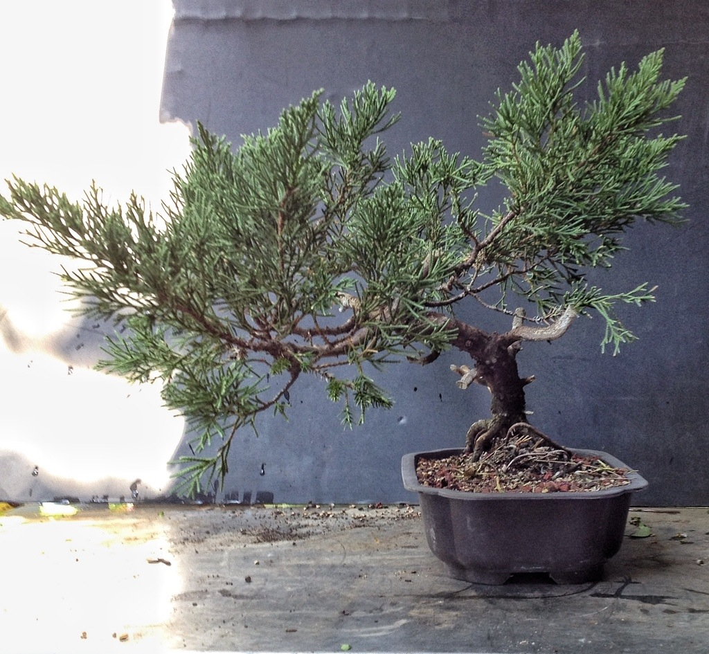The worst juniper in the nursery i ll take that challenge for The juniper