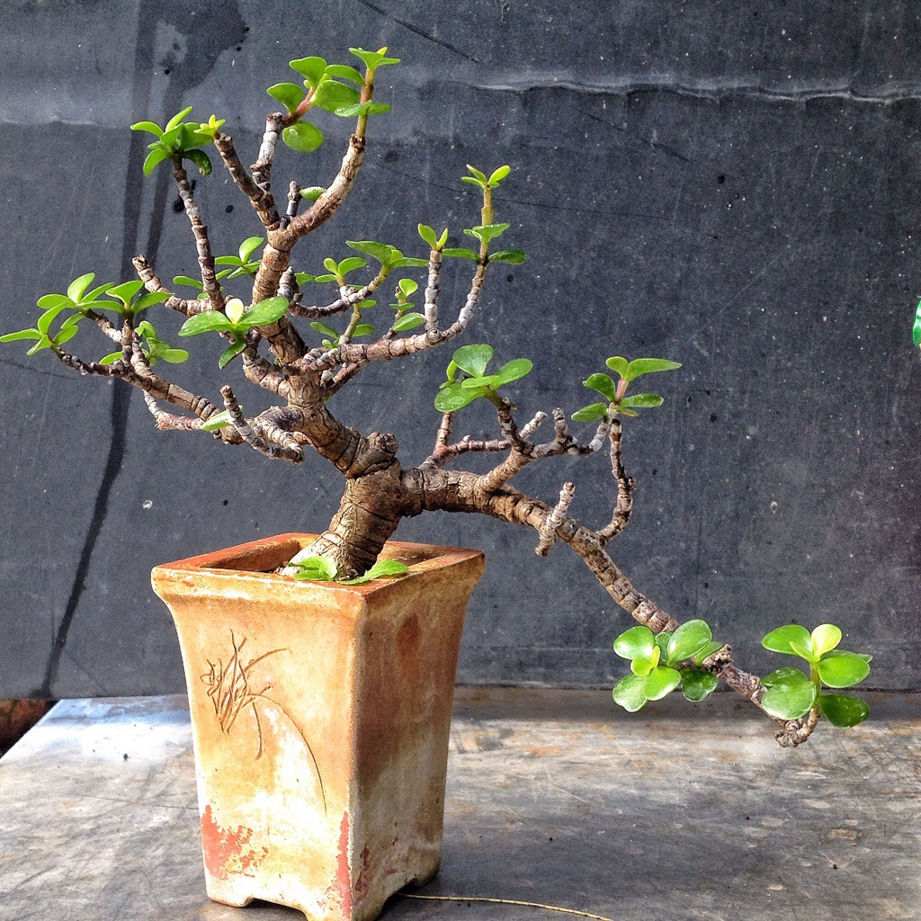 A Small Cascade Dwarf Jade Bonsai Adam S Art And Bonsai Blog