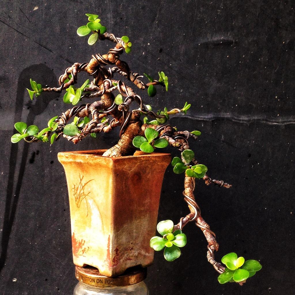 Fabulous A Small Cascade Dwarf Jade Bonsai Adams Art And Bonsai Blog Wiring 101 Photwellnesstrialsorg