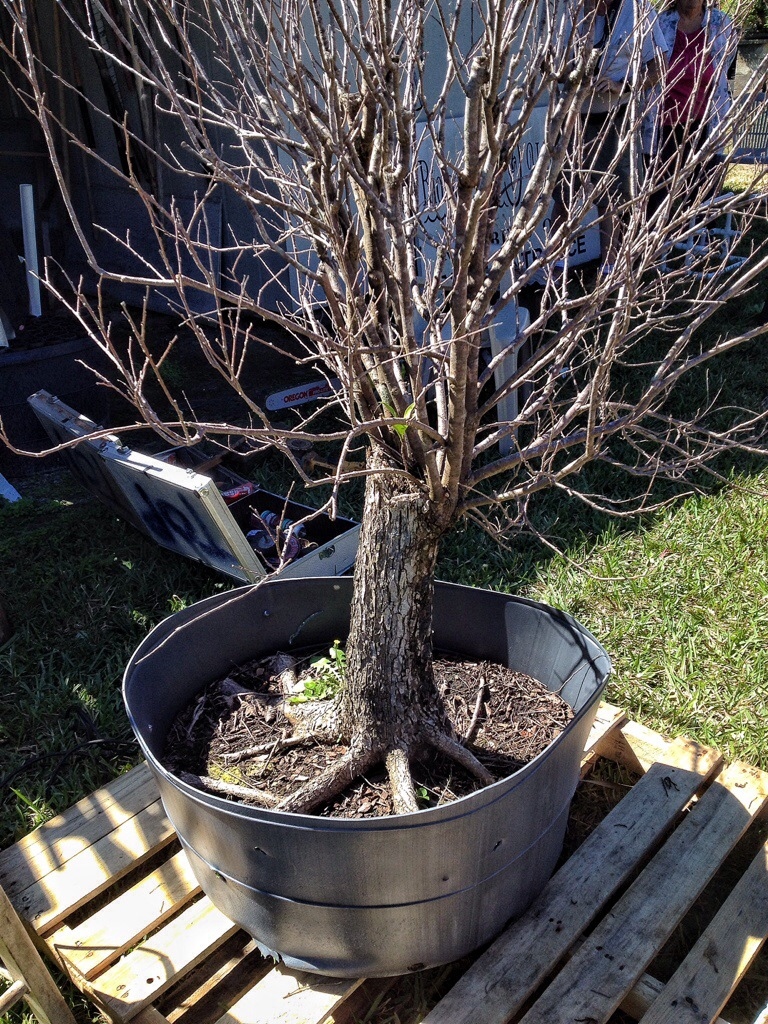 Bonsai American Elm Tree Bonsai Tree