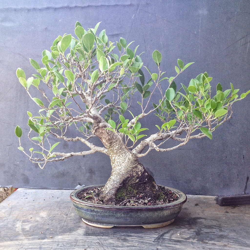 a ficus microcarpa nearing show ready maturity adam 39 s. Black Bedroom Furniture Sets. Home Design Ideas