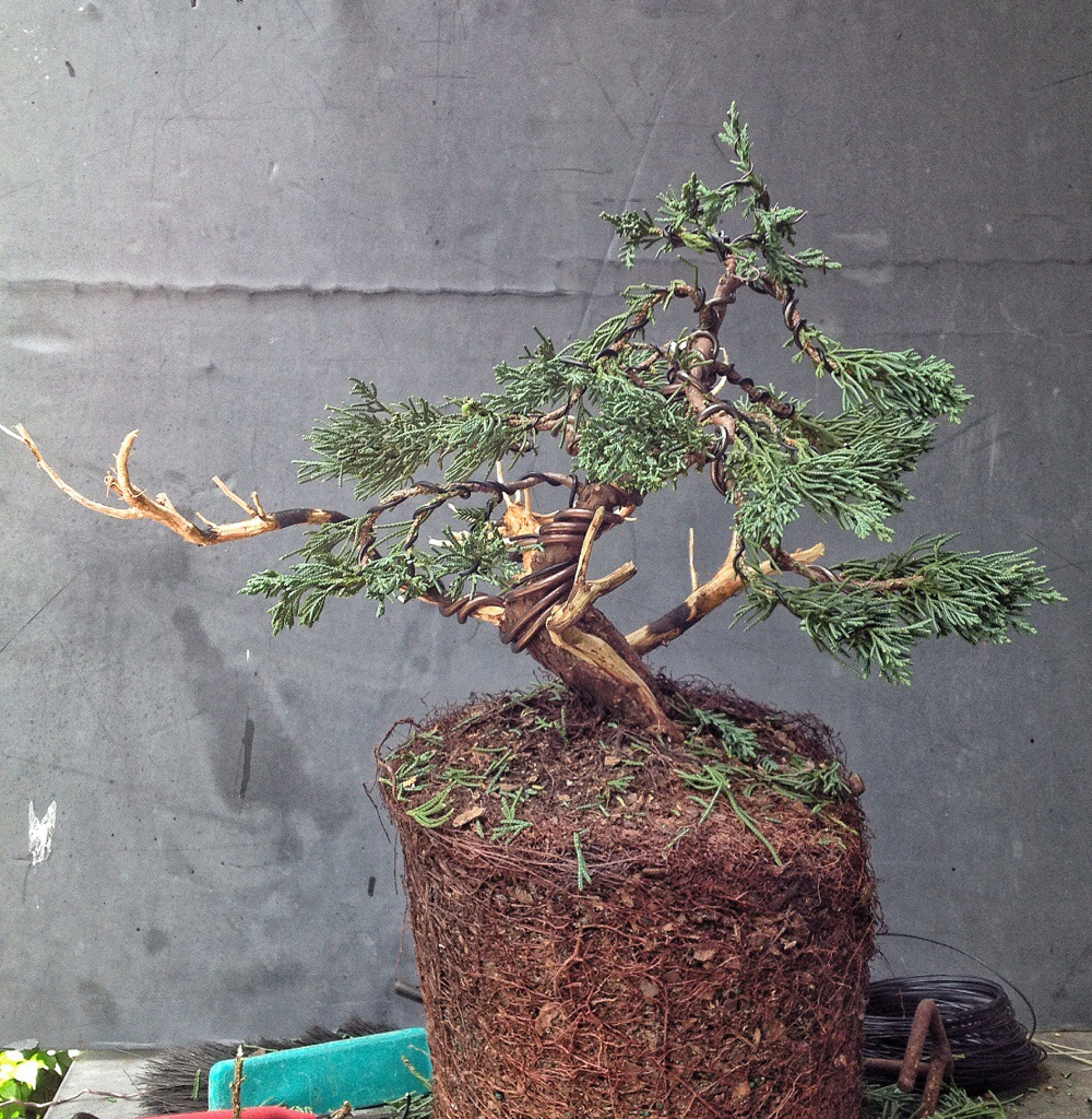 Brazilian Raintree Bonsai Tree Wiring Free Diagram For You Juniper Vs Adam S Art And Blog Peach Dogwood