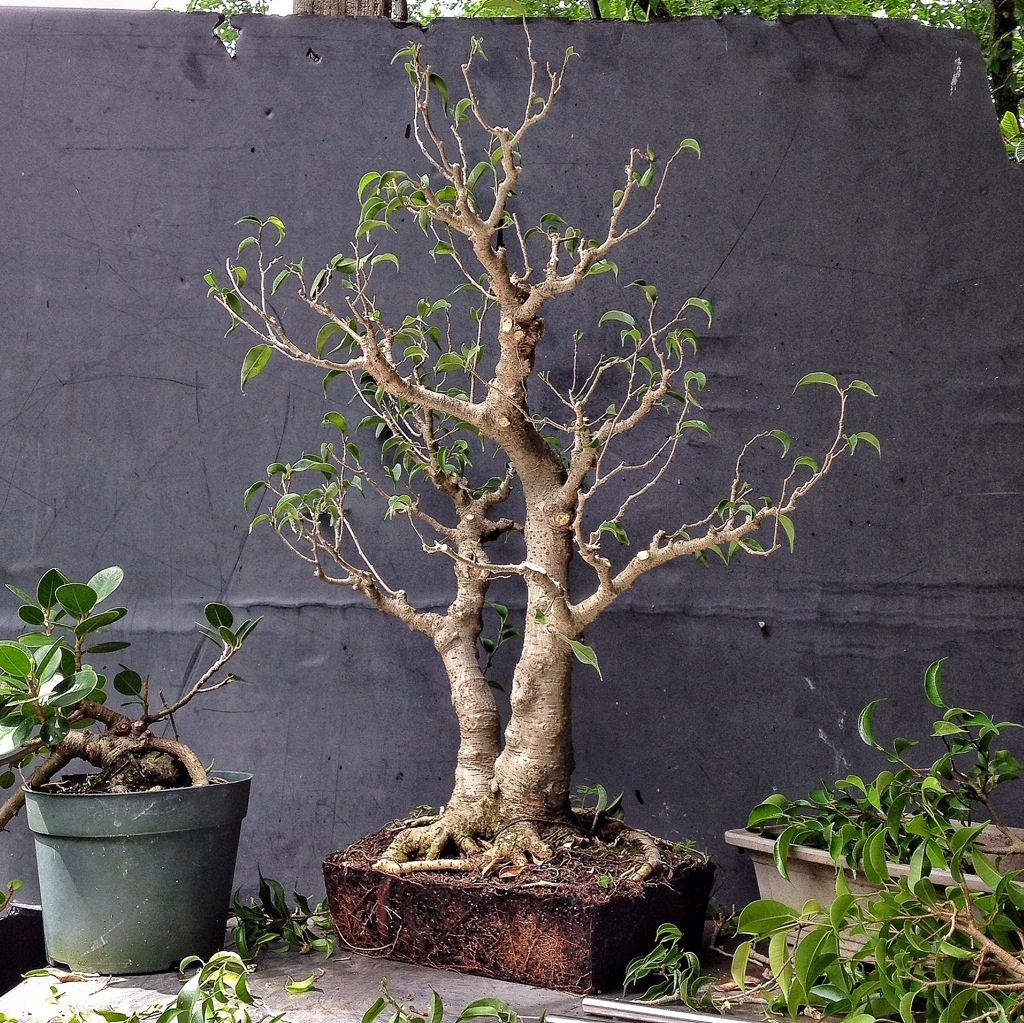 how about some love for a ficus benjamina adam 39 s art and bonsai blog. Black Bedroom Furniture Sets. Home Design Ideas