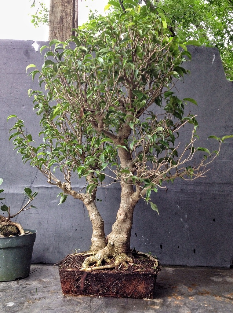 How about some love for a ficus benjamina bonsai advice for Most expensive bonsai tree ever
