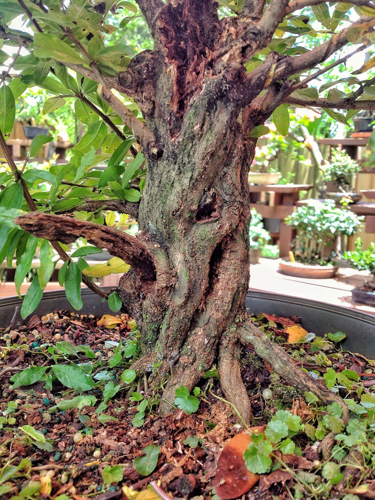 a twisted pomegranate  a 250 year old oak and an art class bonsai wiring 101 bonsai wiring pseudocydonia sinensis