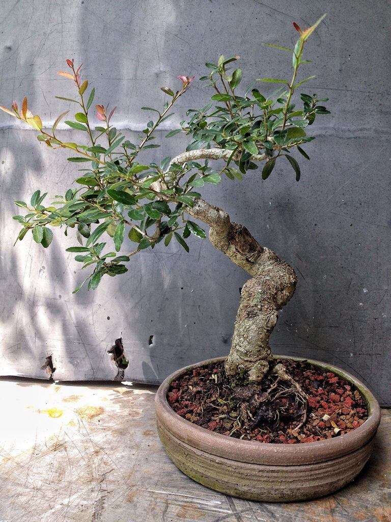 Its A One Cut Treeafter 2 Years Growing And Bunch Of Wire Wiring Bonsai Tips 20140805 142335 51815128