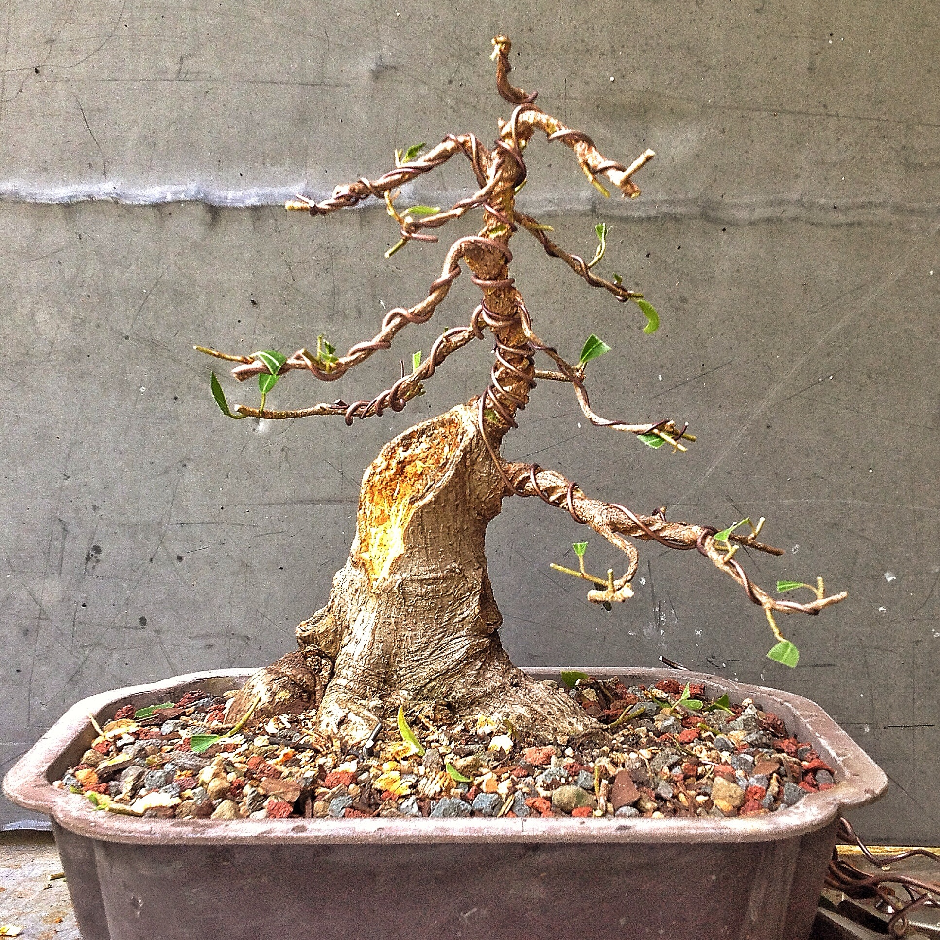 Stupendous Total Willowleaf Ficus Drama Adams Art And Bonsai Blog Wiring Digital Resources Funapmognl
