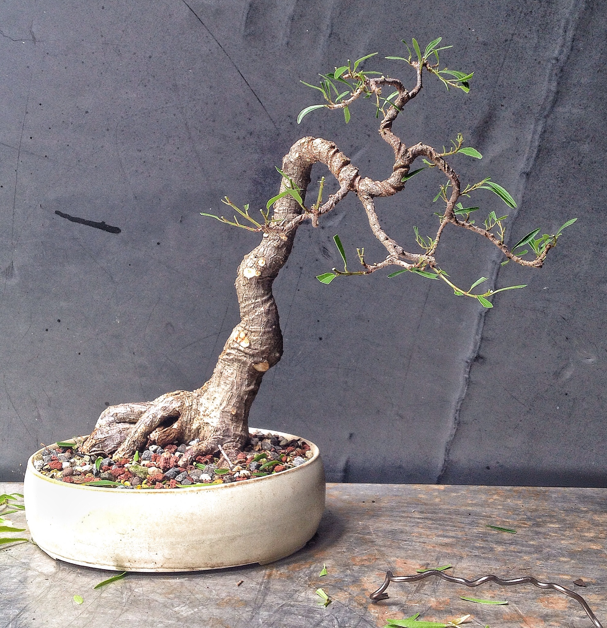 Remarkable Total Willowleaf Ficus Drama Adams Art And Bonsai Blog Wiring Digital Resources Timewpwclawcorpcom