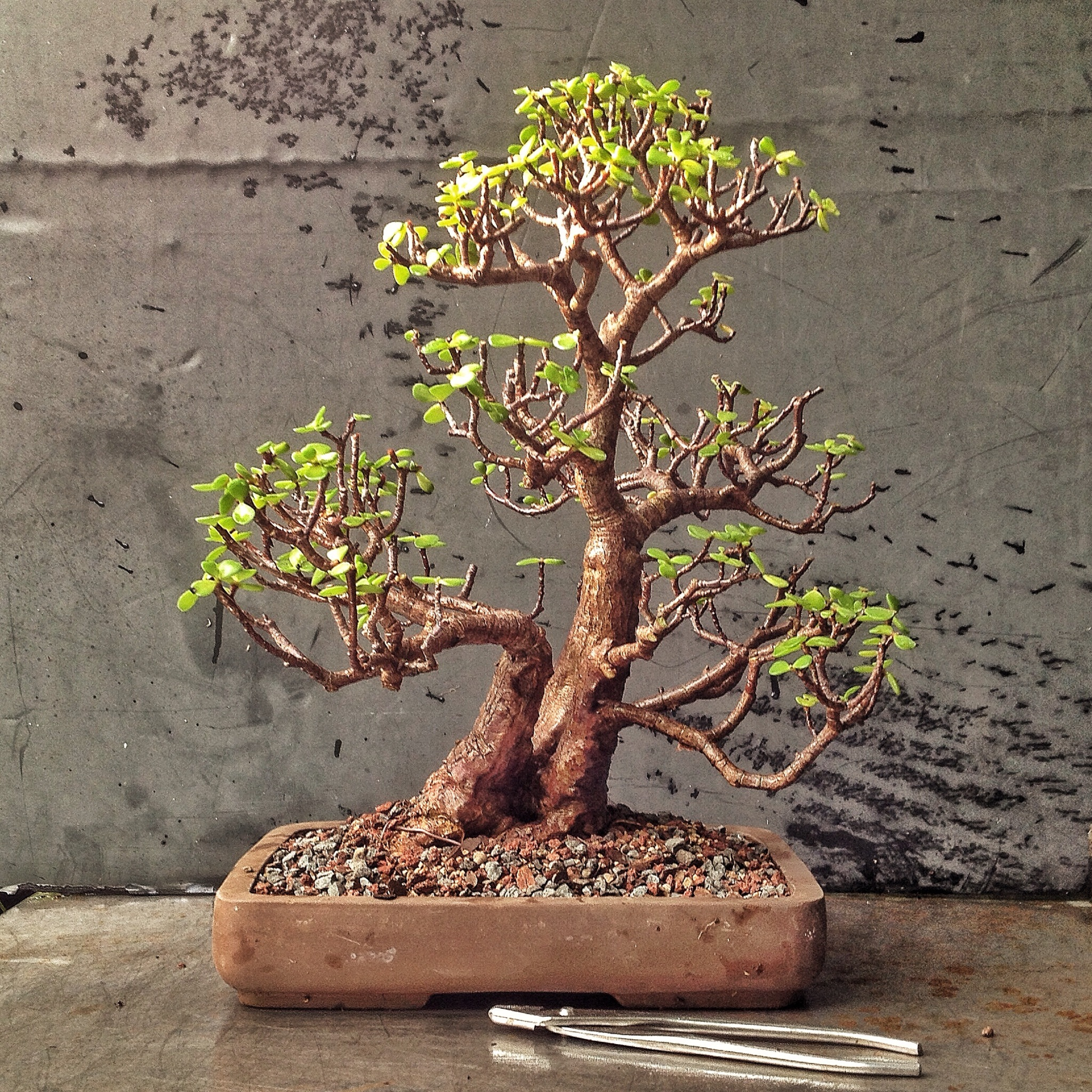 how to turn calomondin into a bonsai
