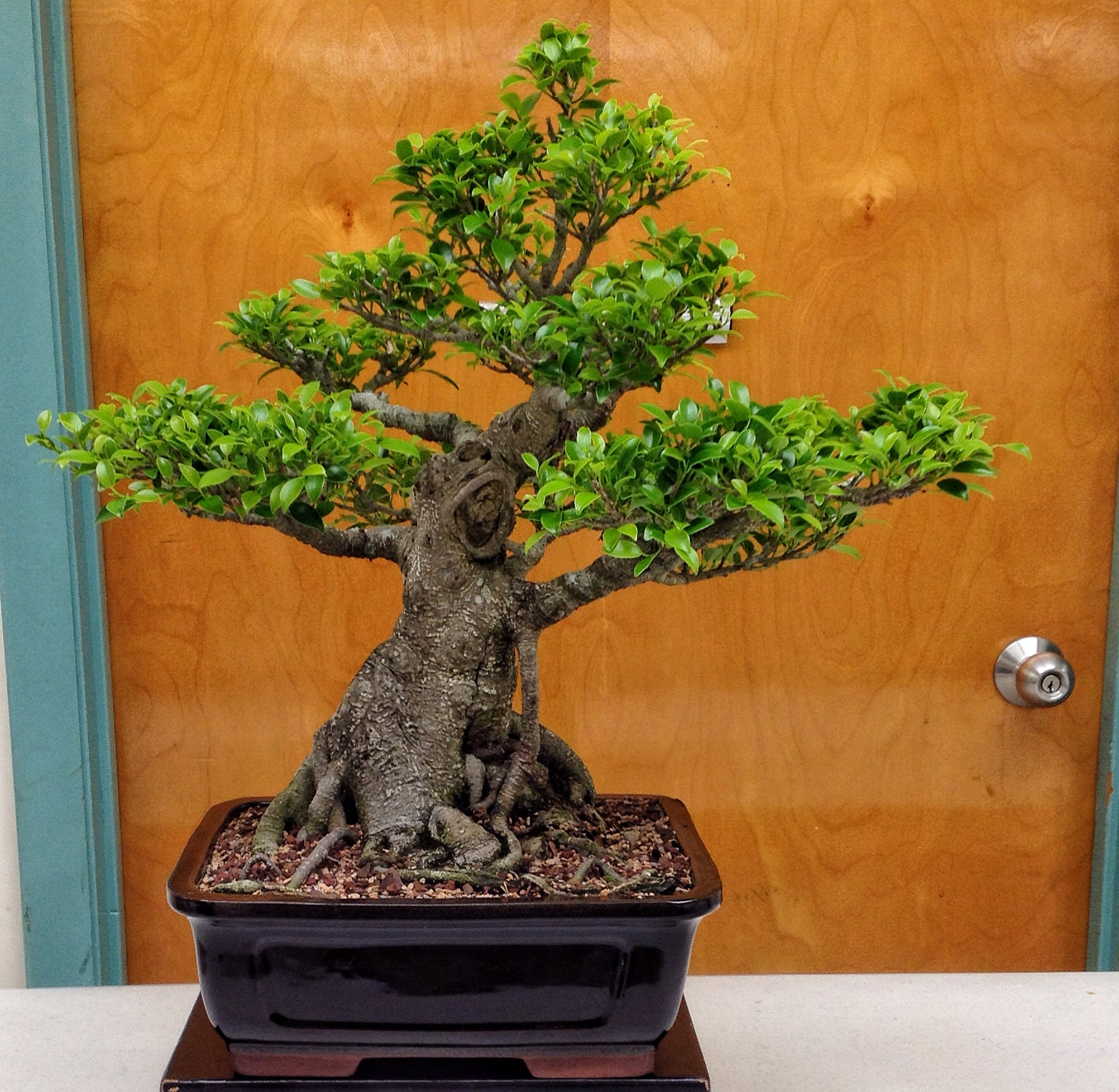 how to look after bonsai