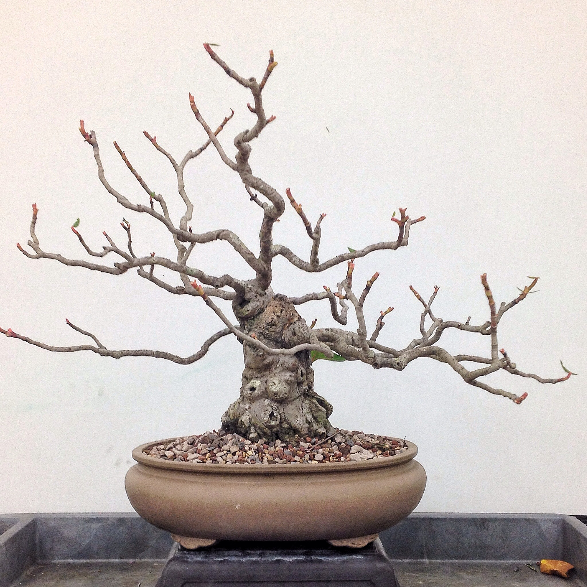 Sea Grape Bonsai And Some First Aid Training Adams Art And Bonsai