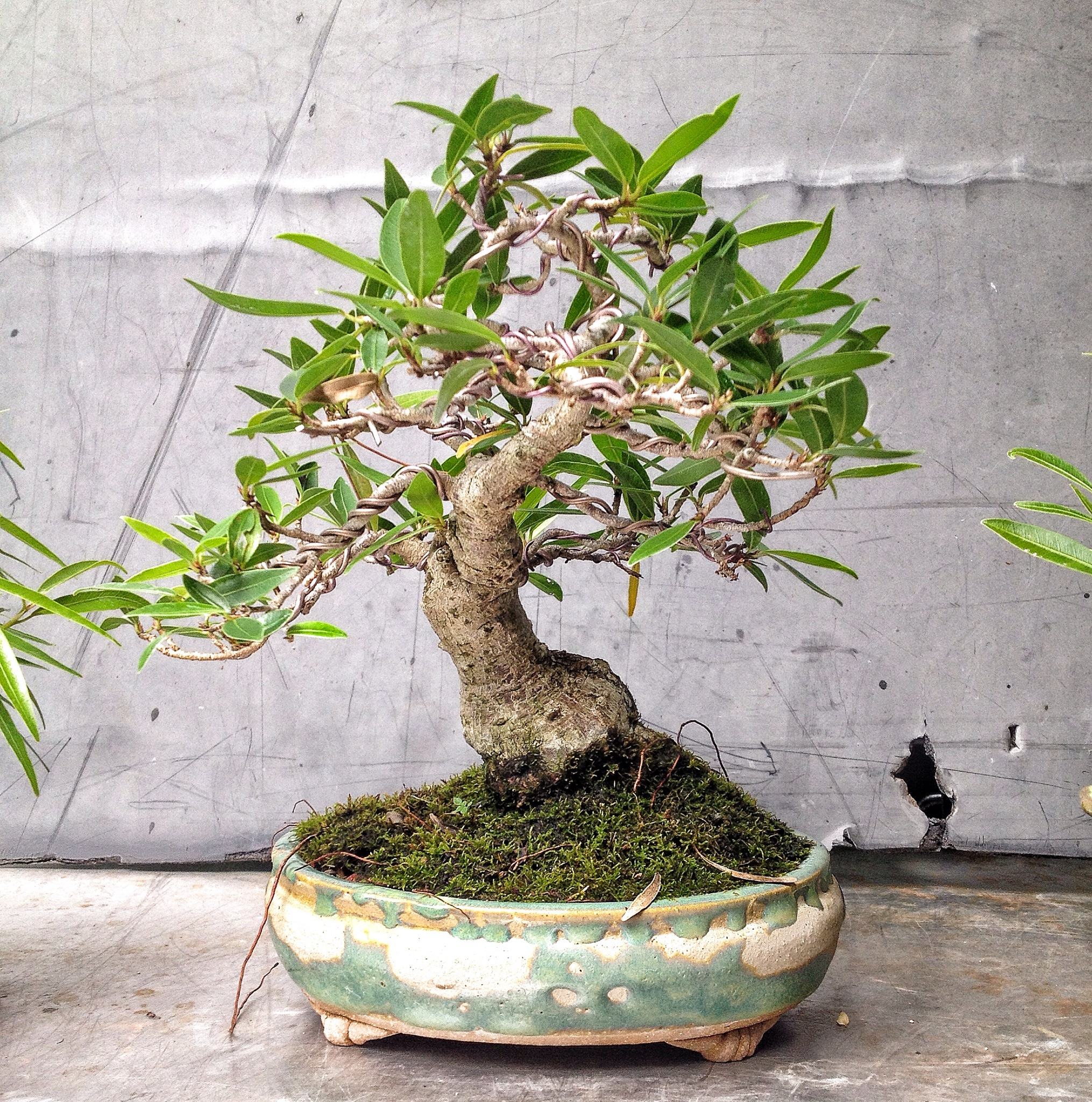 5 or 6 shohin willow leaf ficus in varied states of dress adam s rh adamaskwhy com Japanese Maple Bonsai Tree Juniper Bonsai Tree