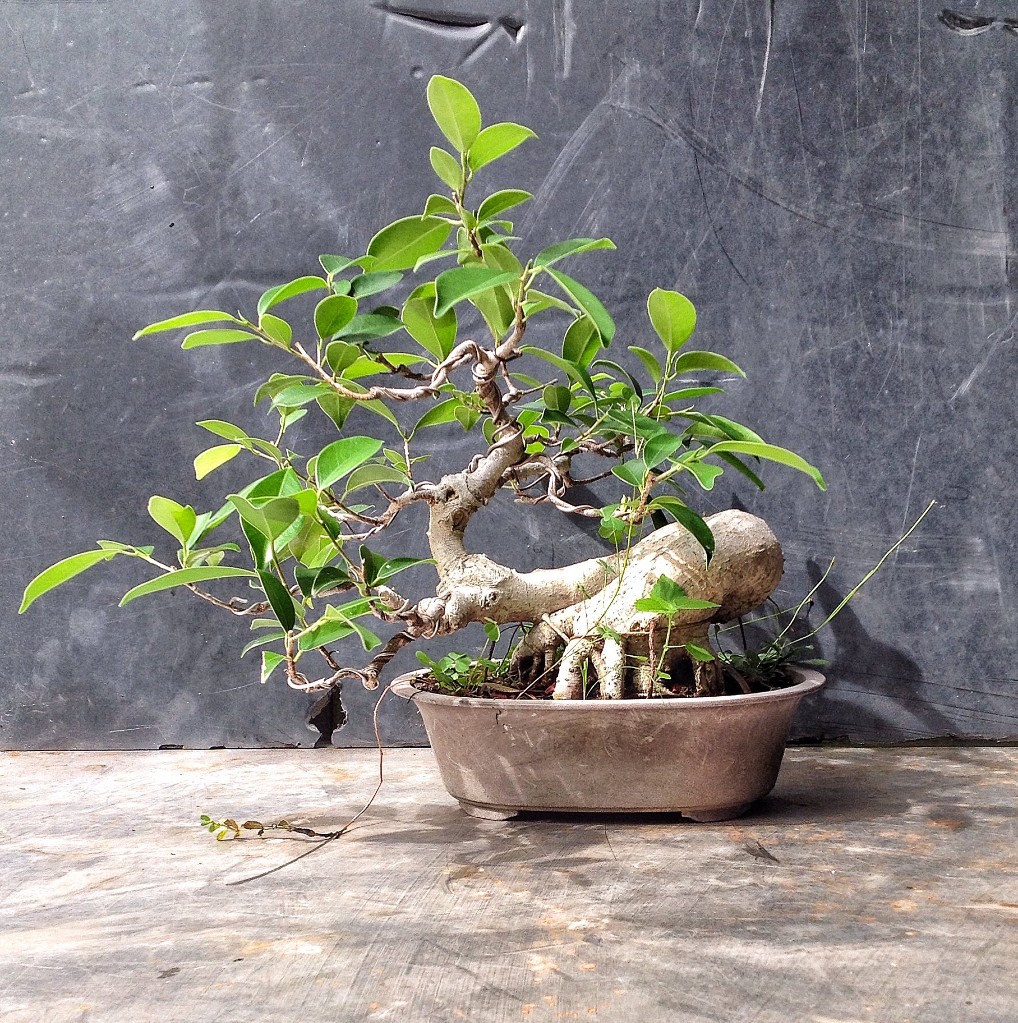 Dare I Call It A Ginseng Ficus What Does That Mean Anyway Adam S Art And Bonsai Blog