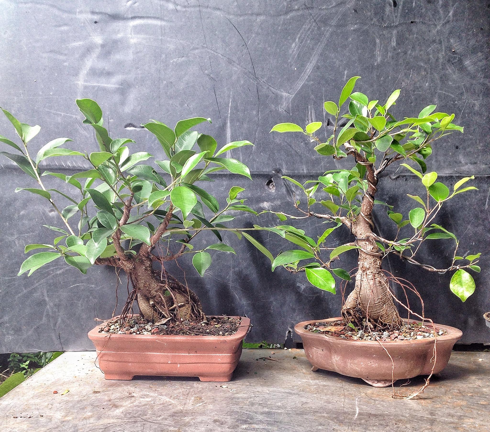 How to bonsai trees for beginners - Img_7390 Jpg