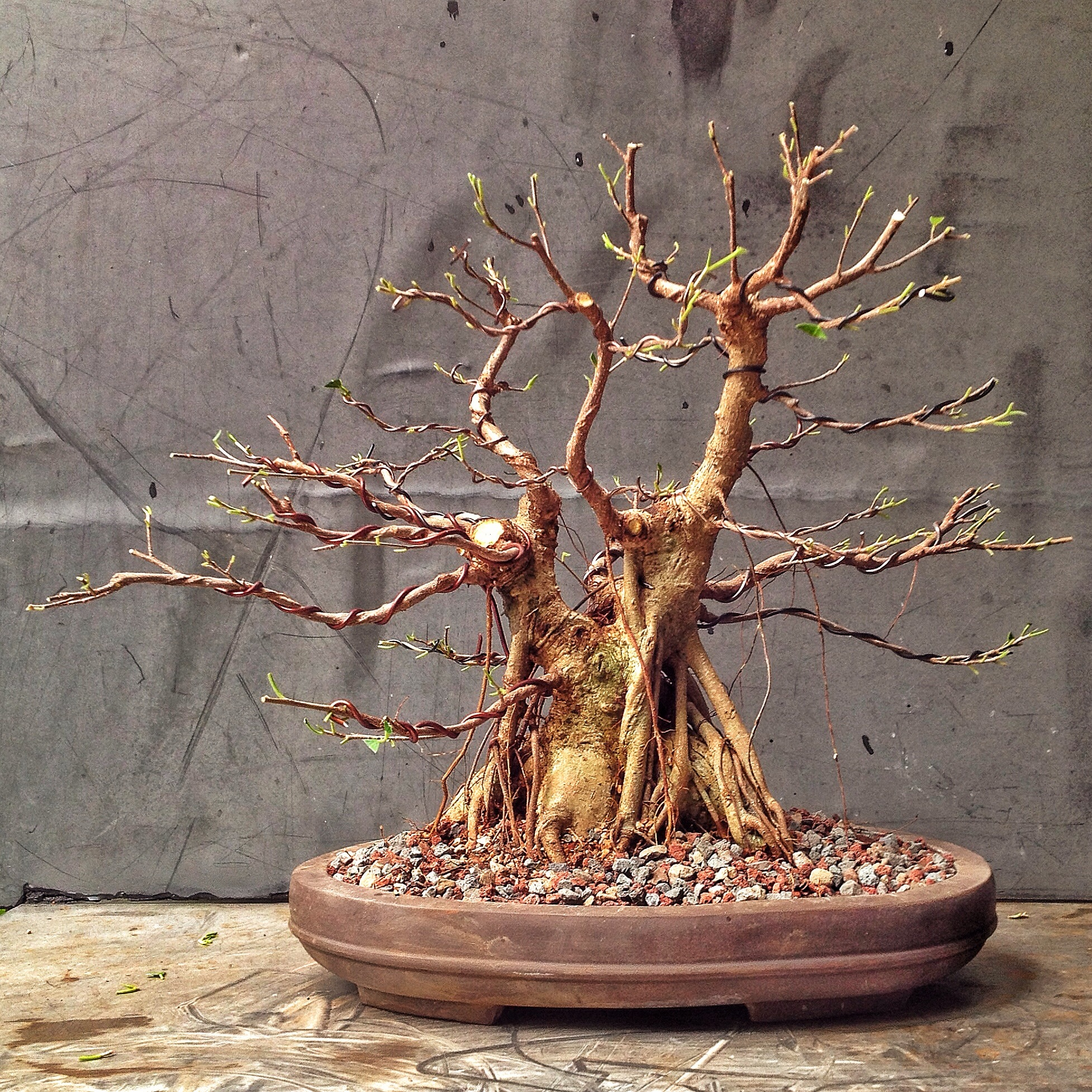 This Was A Ginseng Ficus Now Please Stop Saying Theyre Not Good Bonsai Wiring Styles Img 7468