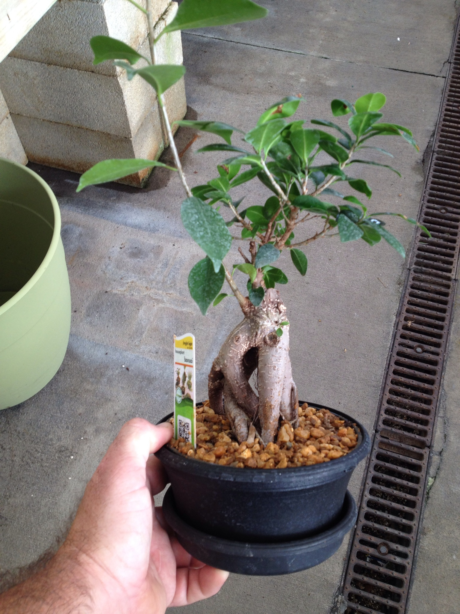 This Was A Ginseng Ficus Now Please Stop Saying They Re Not Good