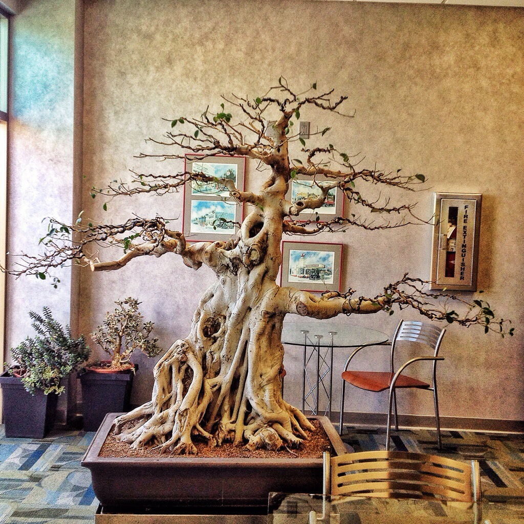"""This was a """"ginseng"""" ficus, now please stop saying they\'re not ..."""