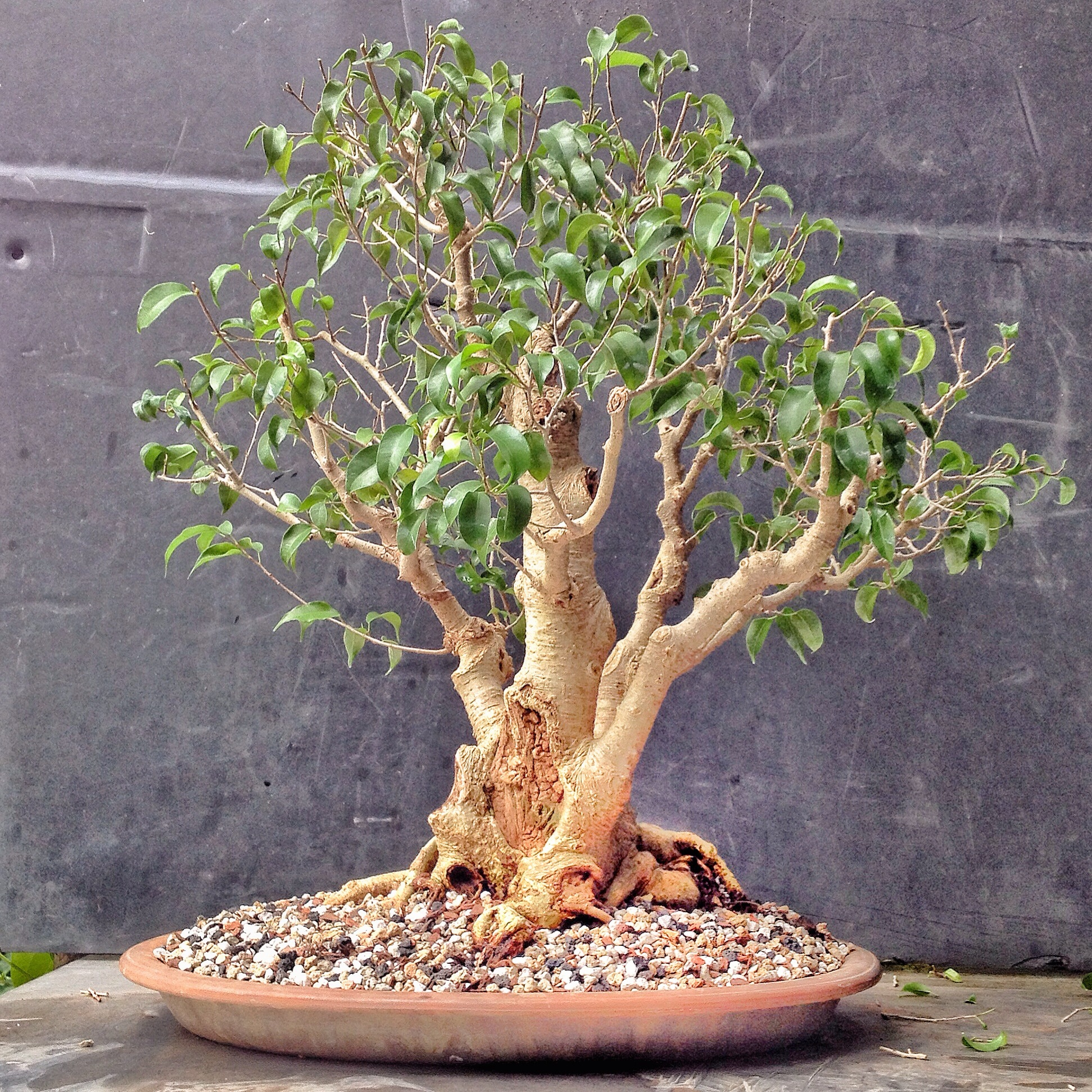 this ficus too little was too much i guess adam 39 s art and bonsai blog. Black Bedroom Furniture Sets. Home Design Ideas