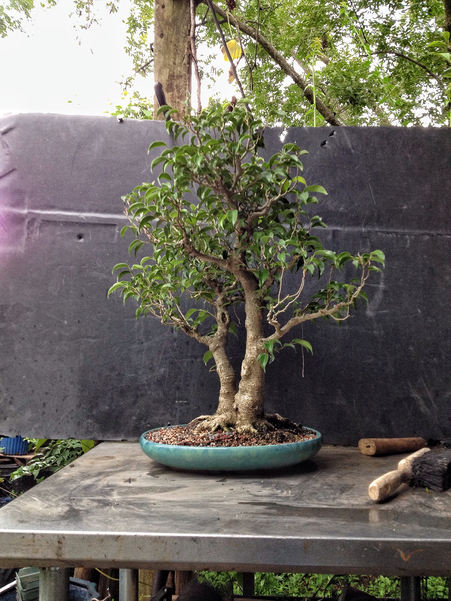 This Ficus Too Little Was Too Much I Guess Adam S Art And Bonsai Blog
