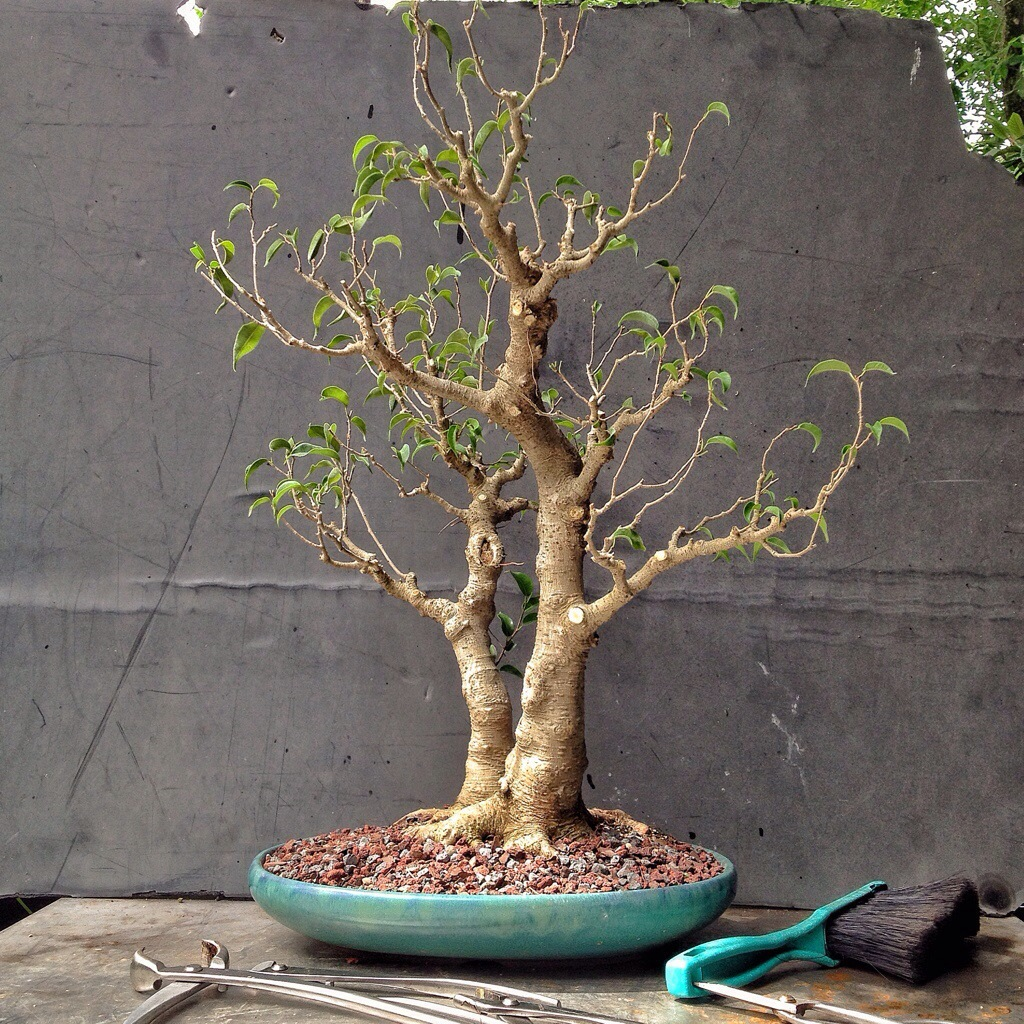 this ficus too little was too much i guess adam 39 s art. Black Bedroom Furniture Sets. Home Design Ideas