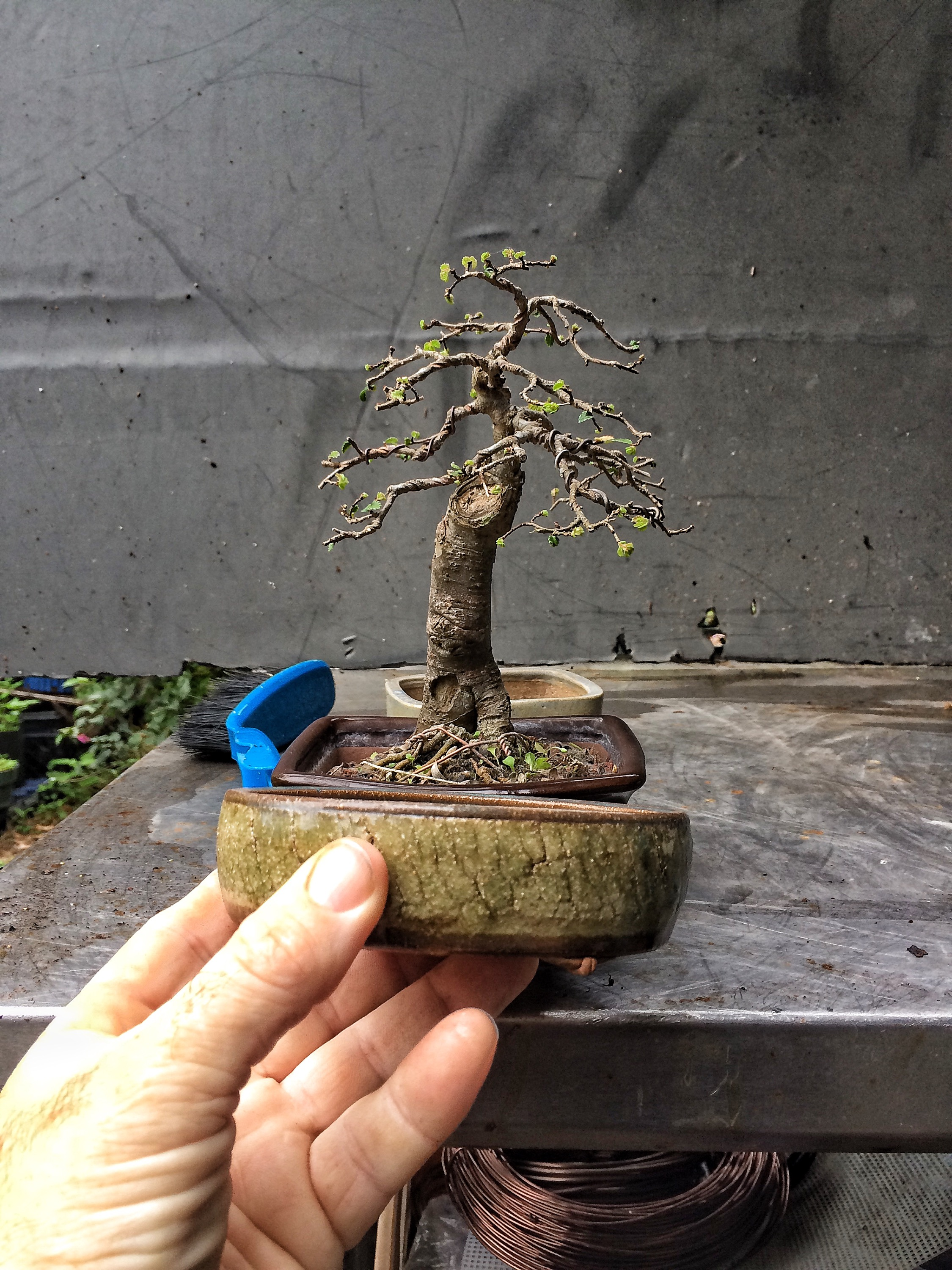 A Slightly Neglected Chinese Elm Adams Art And Bonsai Blog Wiring 2015 01 Img 0088