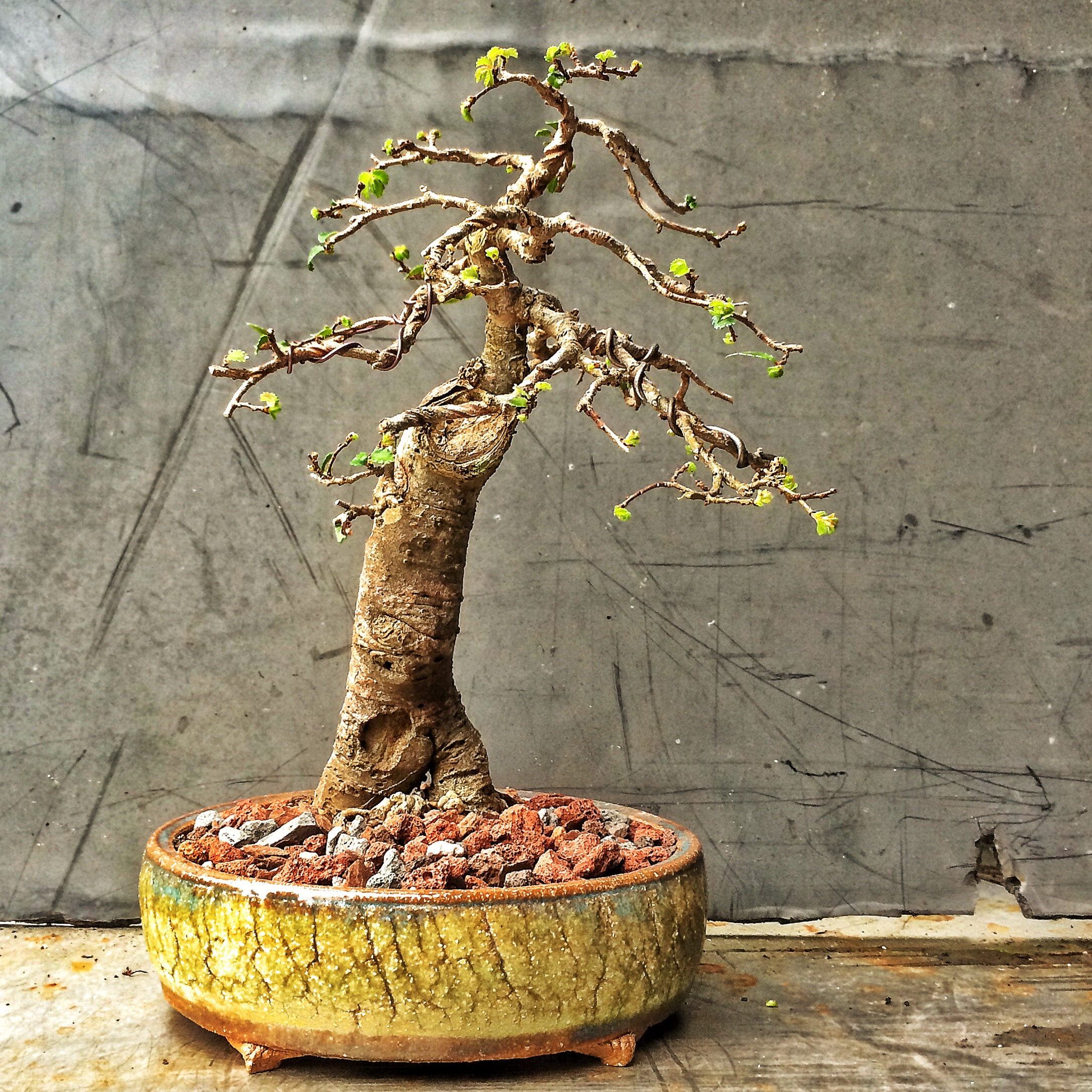 A Slightly Neglected Chinese Elm Adams Art And Bonsai Blog Wiring 2015 01 Img 0103